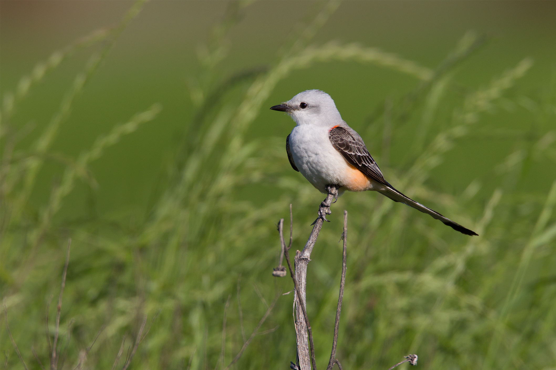 SCISSOR-TAILED FLYCATCHER - GRAYSON COUNTY TX