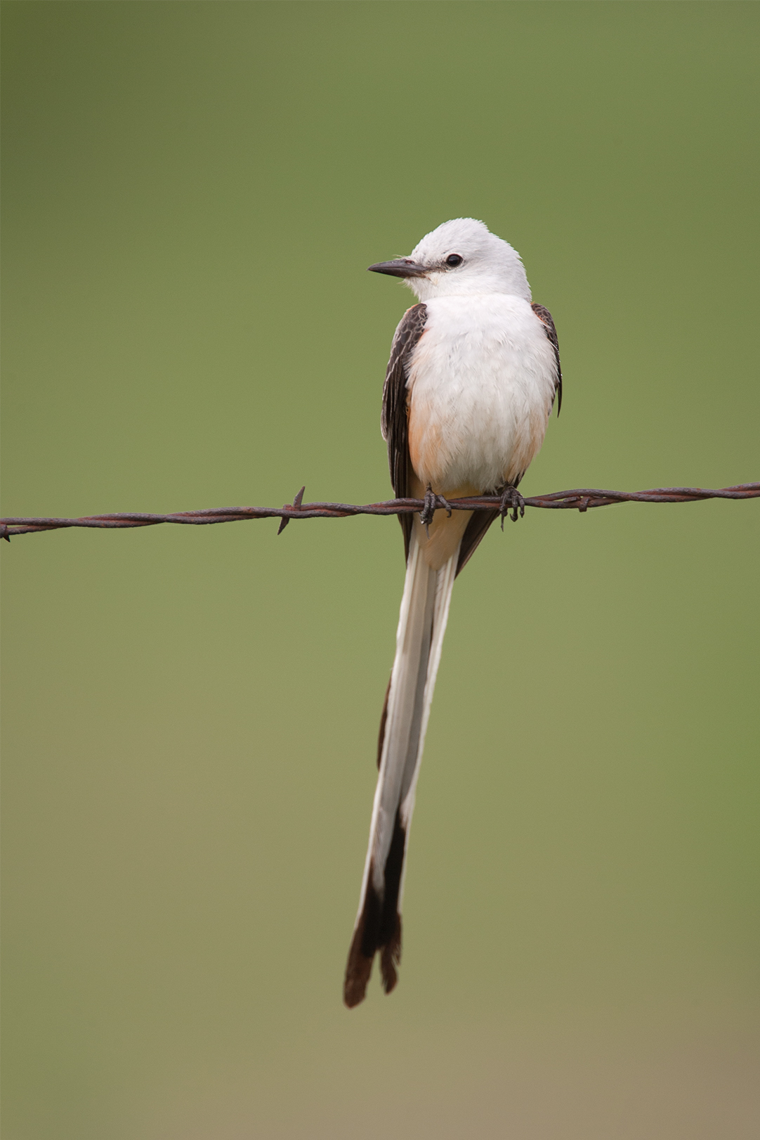 SCISSOR-TAILED FLYCATCHER - DENTON COUNTY TX