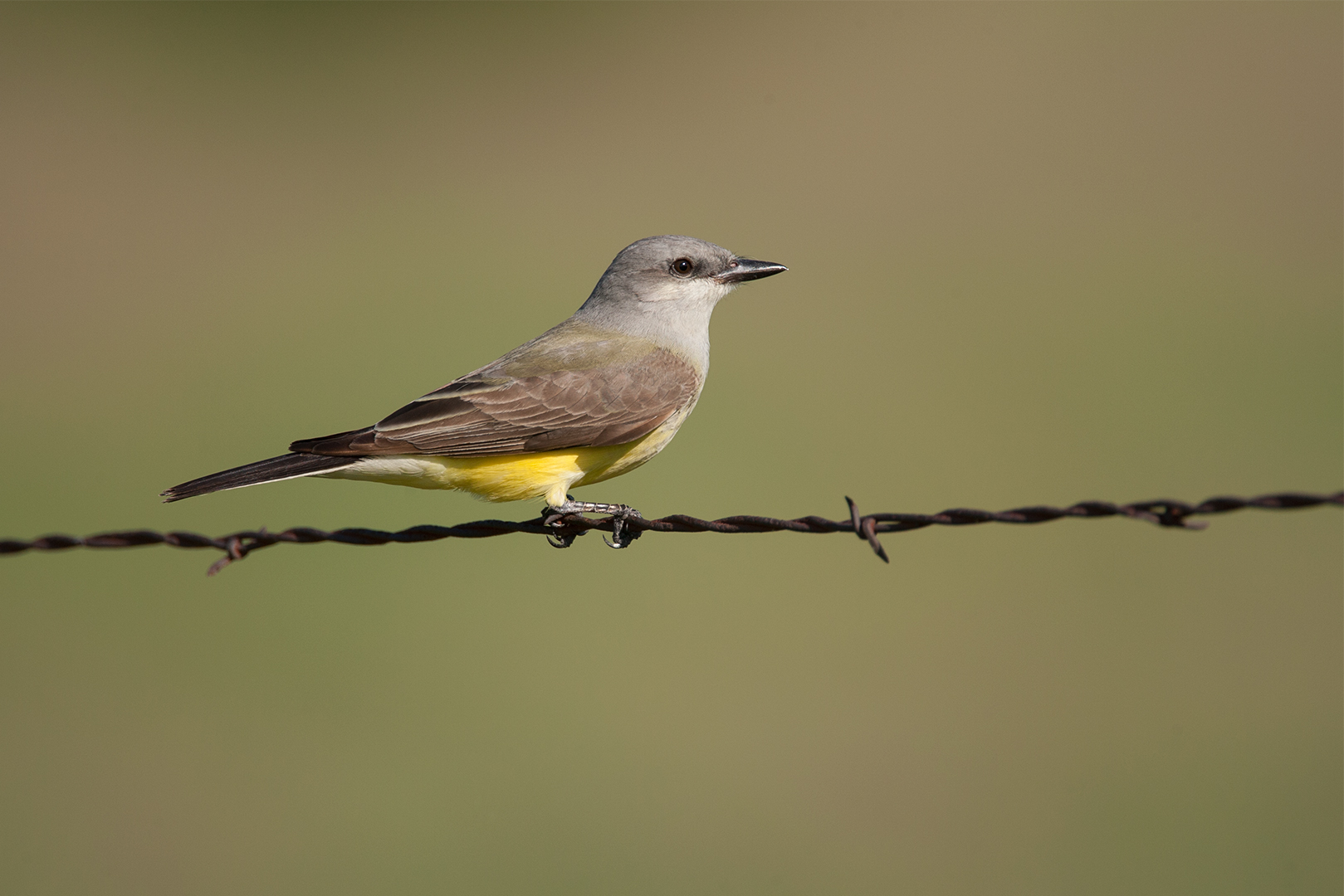 WESTERN KINGBIRD - DENTON COUNTY TX