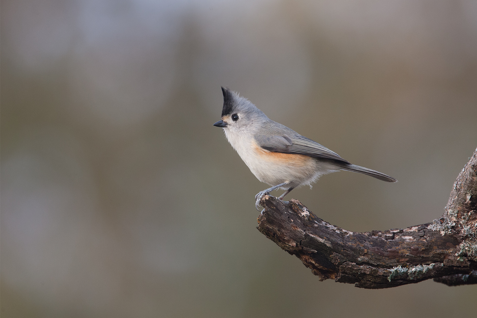 BLACK-CREASTED TITMOUSE - BROWN COUNTY TX