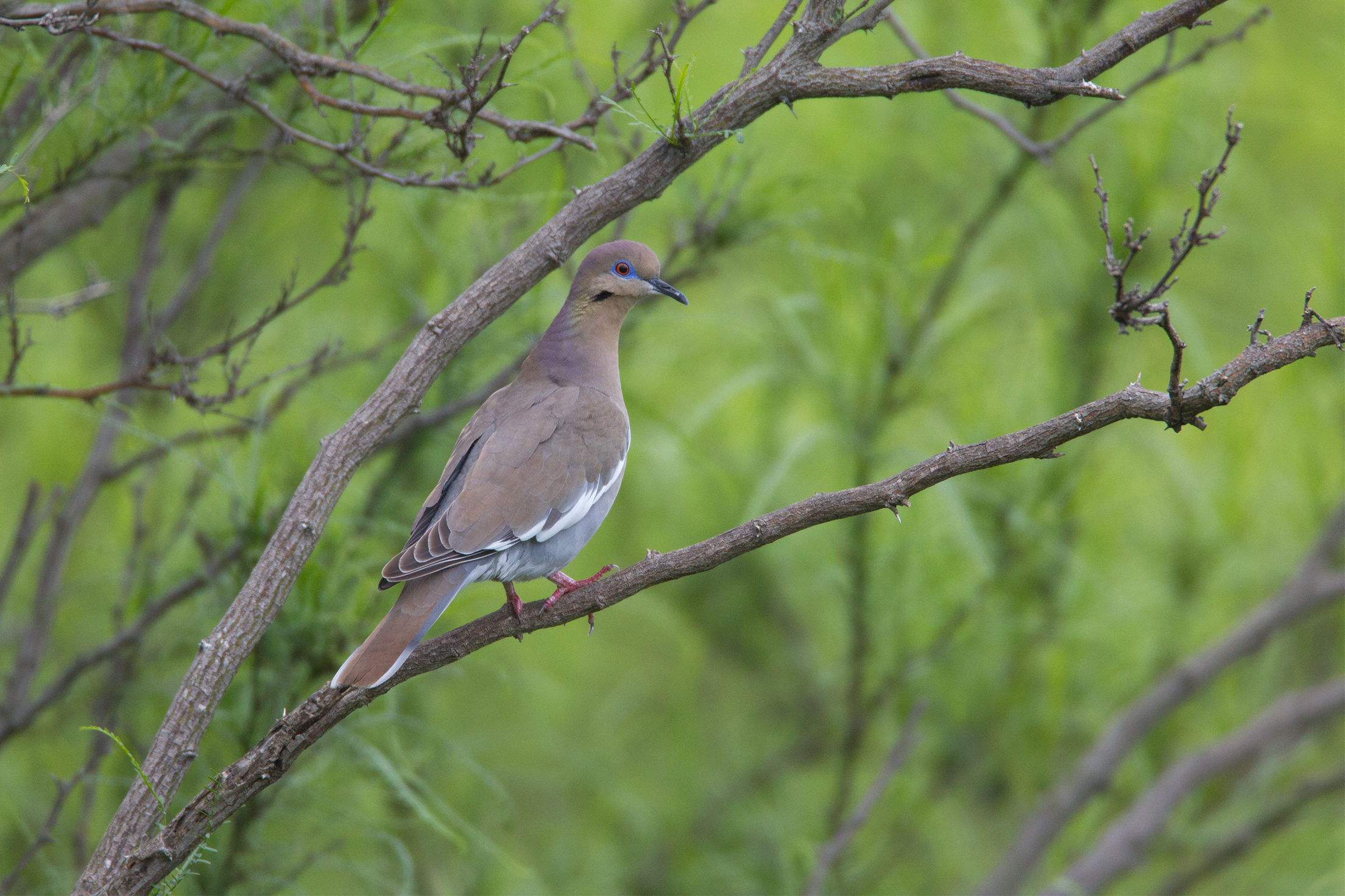 WHITE-WINGED DOVE - BEXAR COUNTY TX