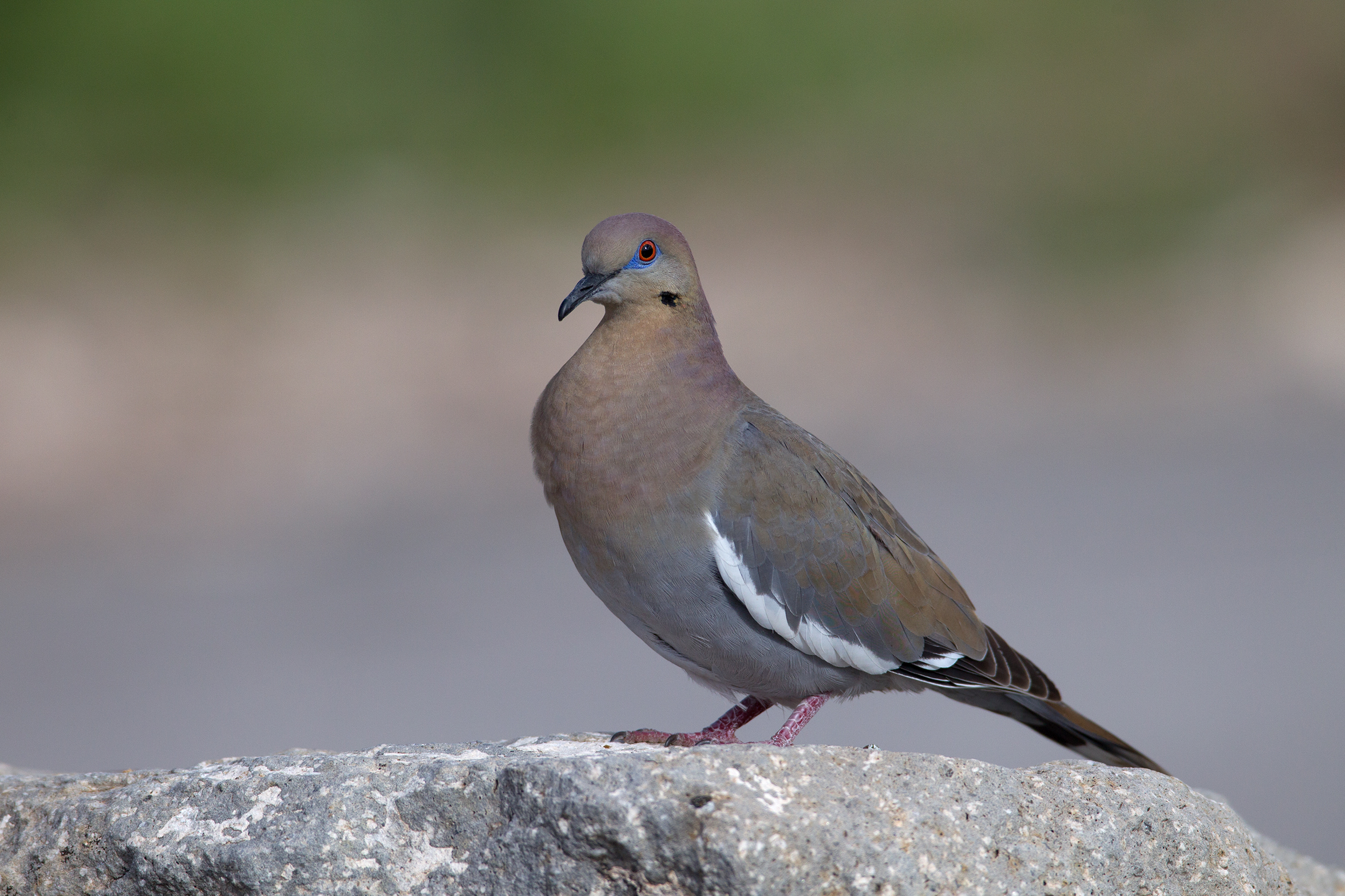 WHITE-WINGED DOVE - BREWSTER COUNTY TX