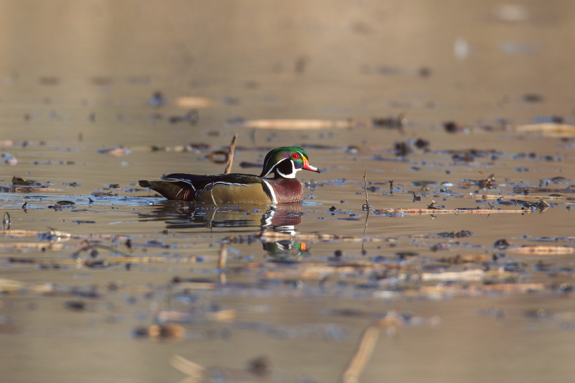 WOOD DUCK - COLLIN COUNTY TX