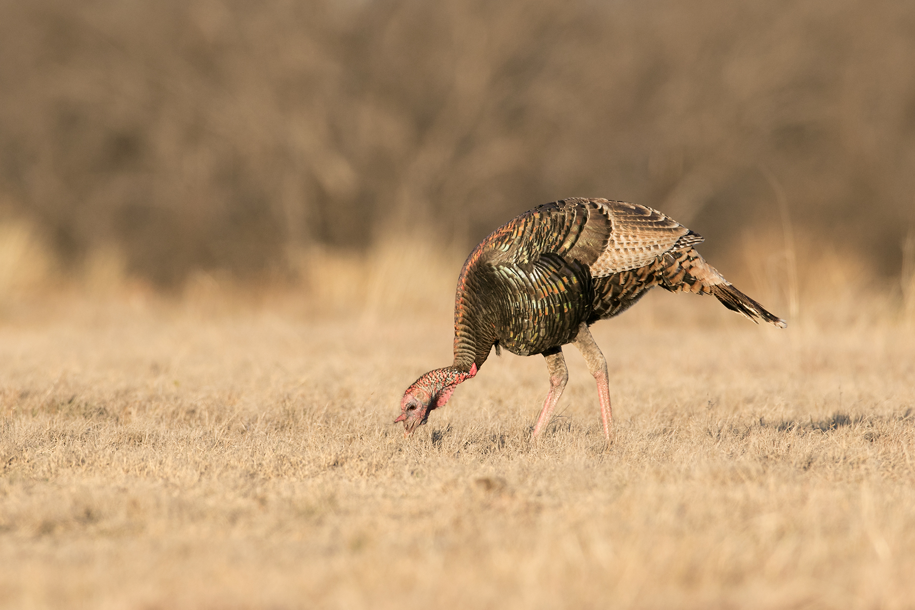 WILD TURKEY - TOM GREEN COUNTY TX