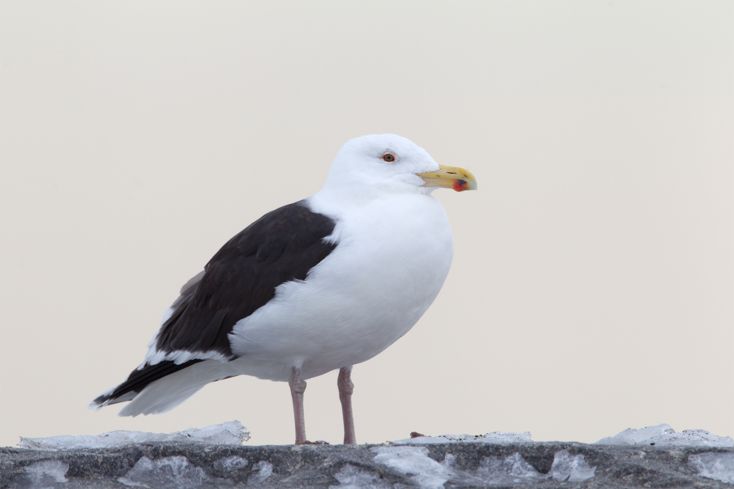 GREAT BLACK-BACKED GULL - NEW HAMPSHIRE