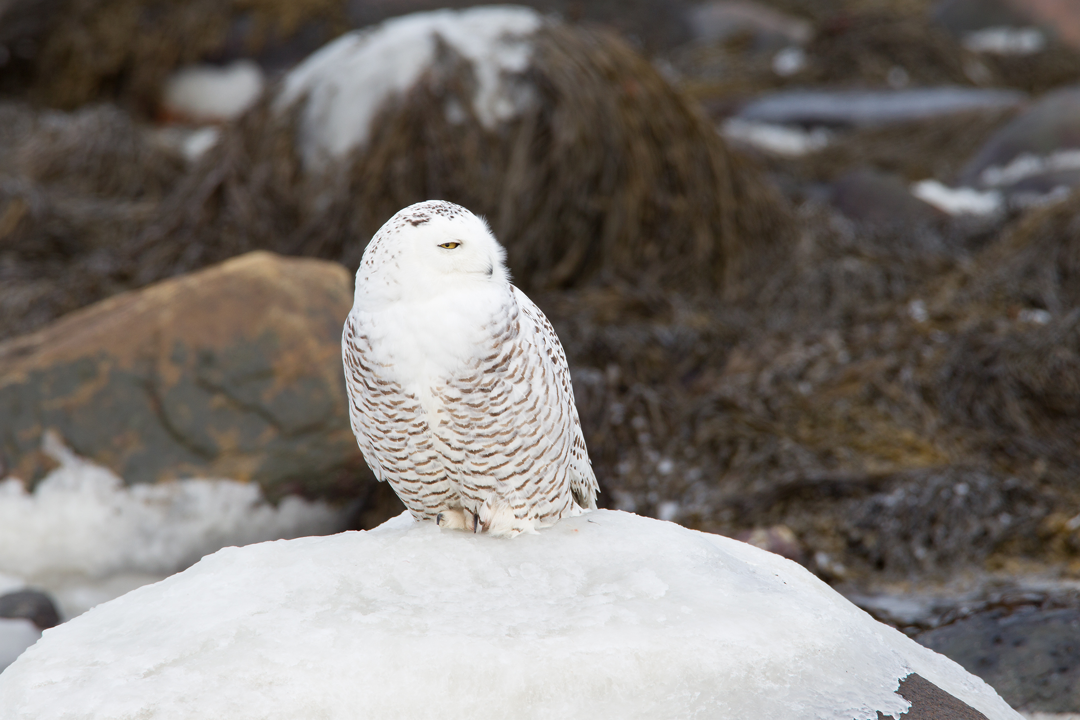 SNOWY OWL - NEW HAMPSHIRE