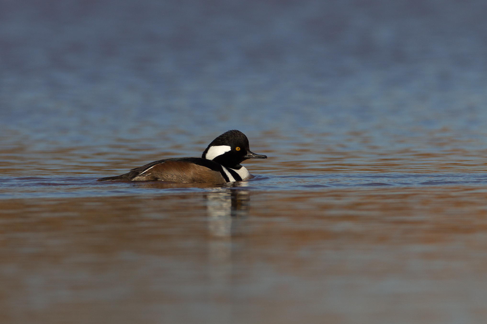 HOODED MERGANSER - TAYLOR COUNTY TX