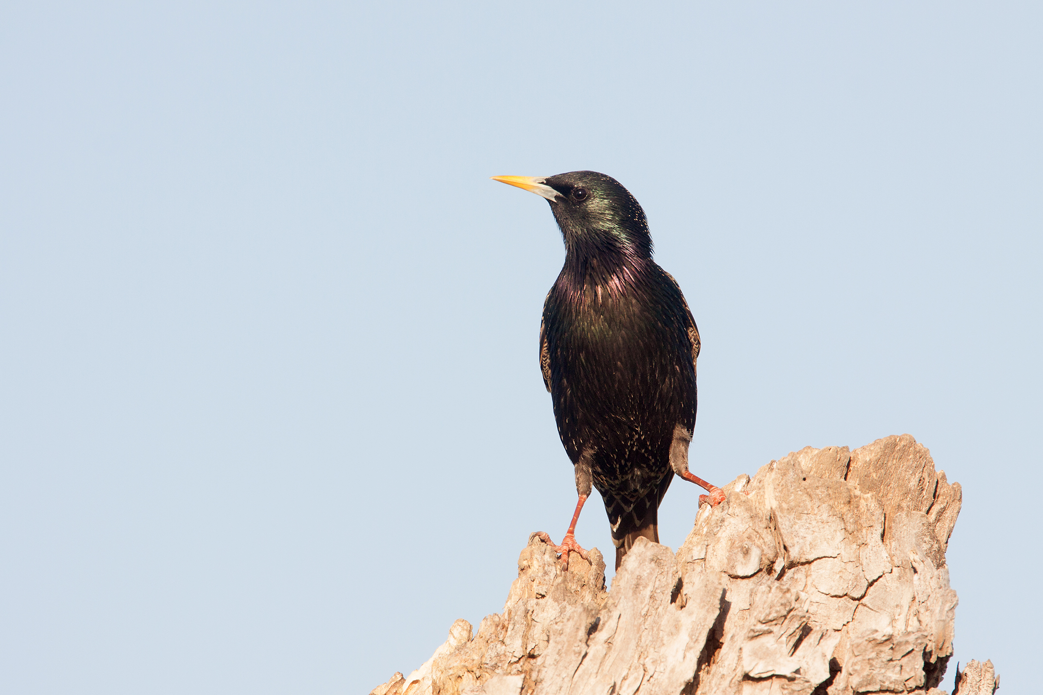 EUROPEAN STARLING - GRAYSON COUNTY TX