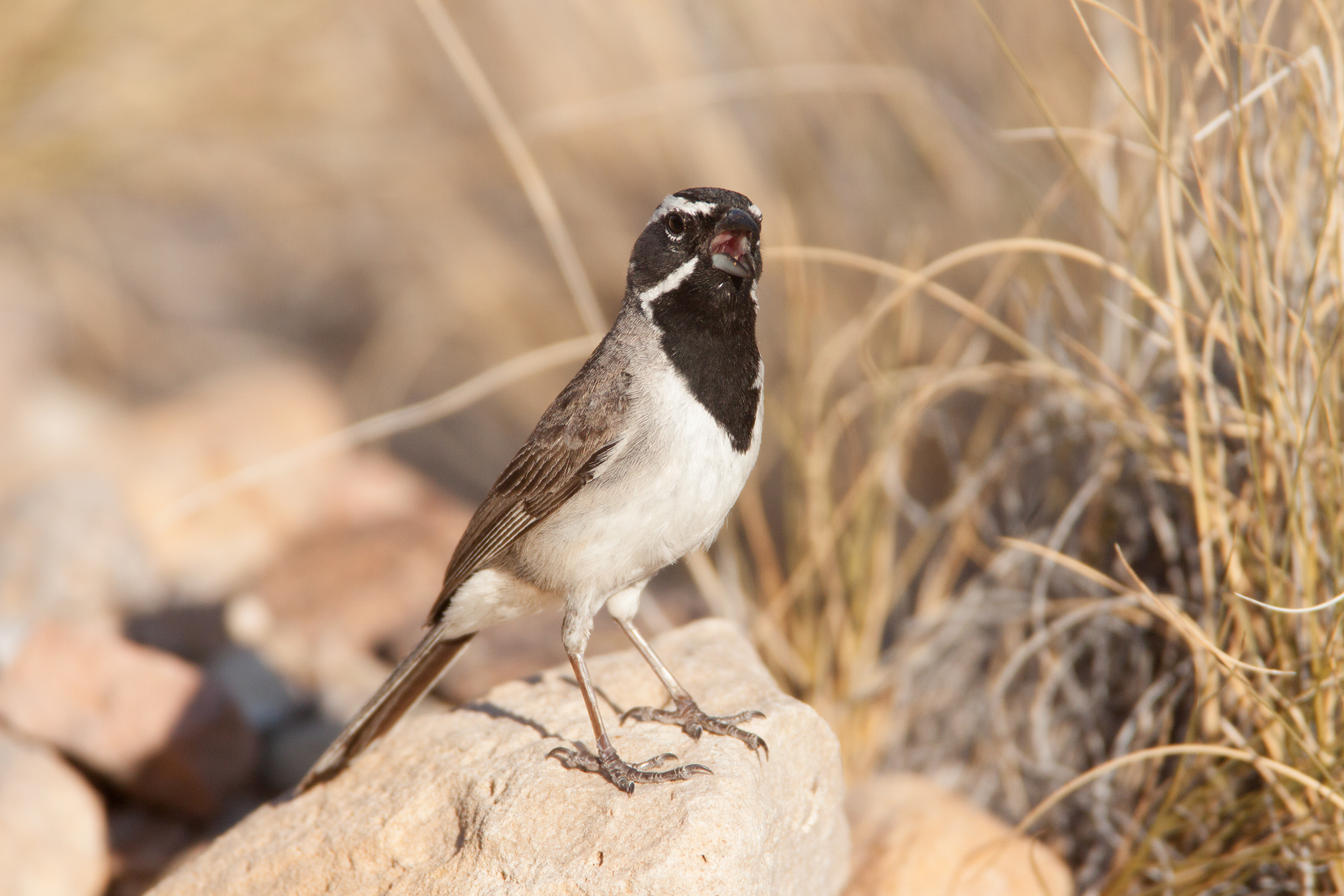 BLACK-THROATED SPARROW - PRESIDIO COUNTY TX