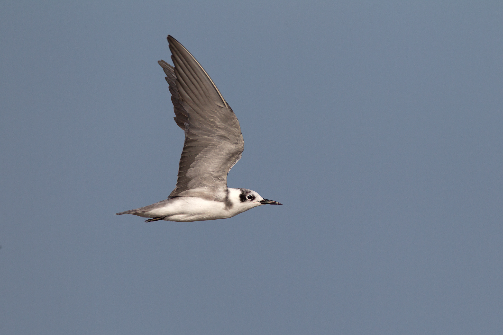 BLACK TERN - GALVESTON COUNTY TX