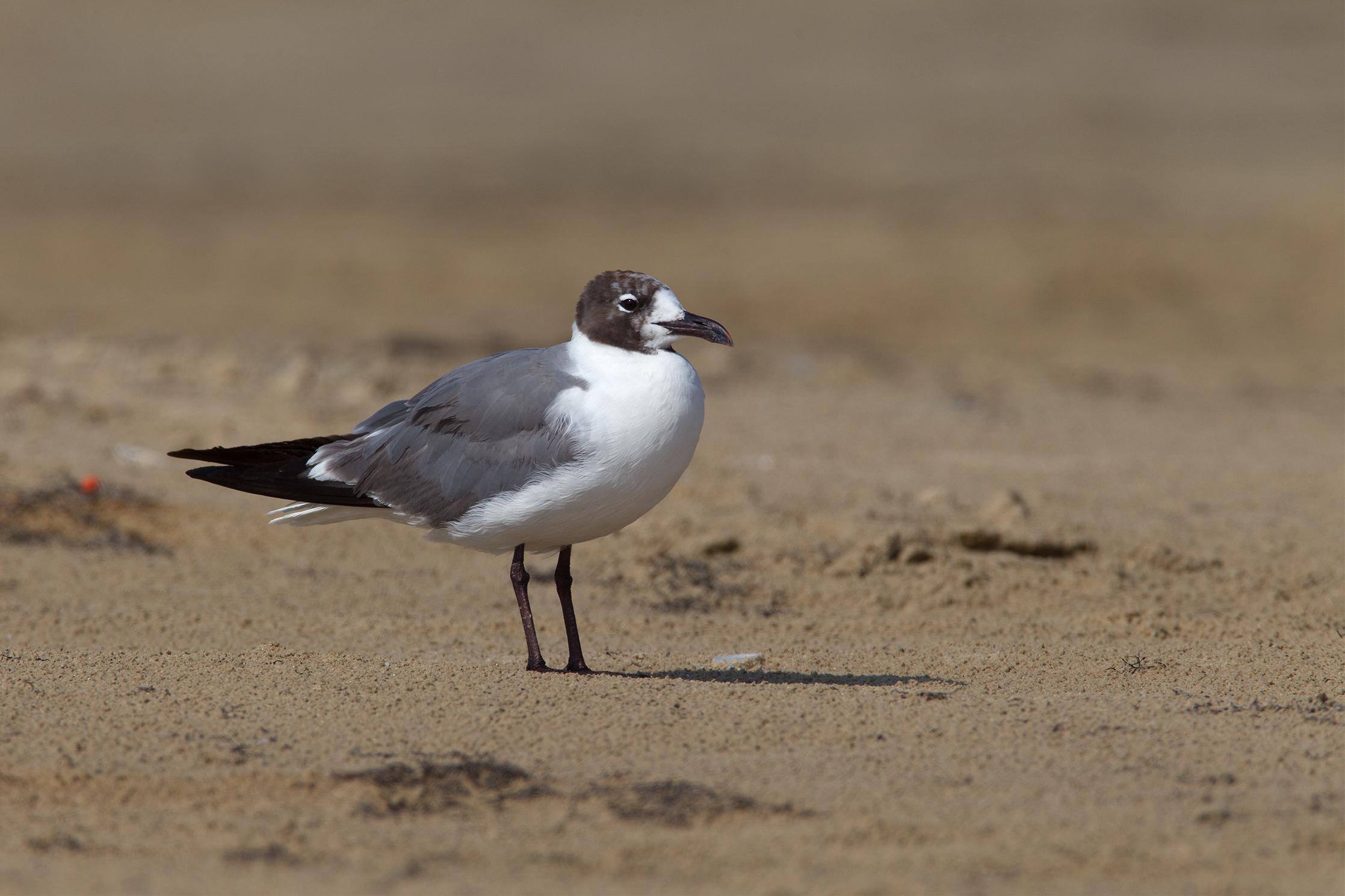 LAUGHING GULL - GALVESTON COUNTY TX