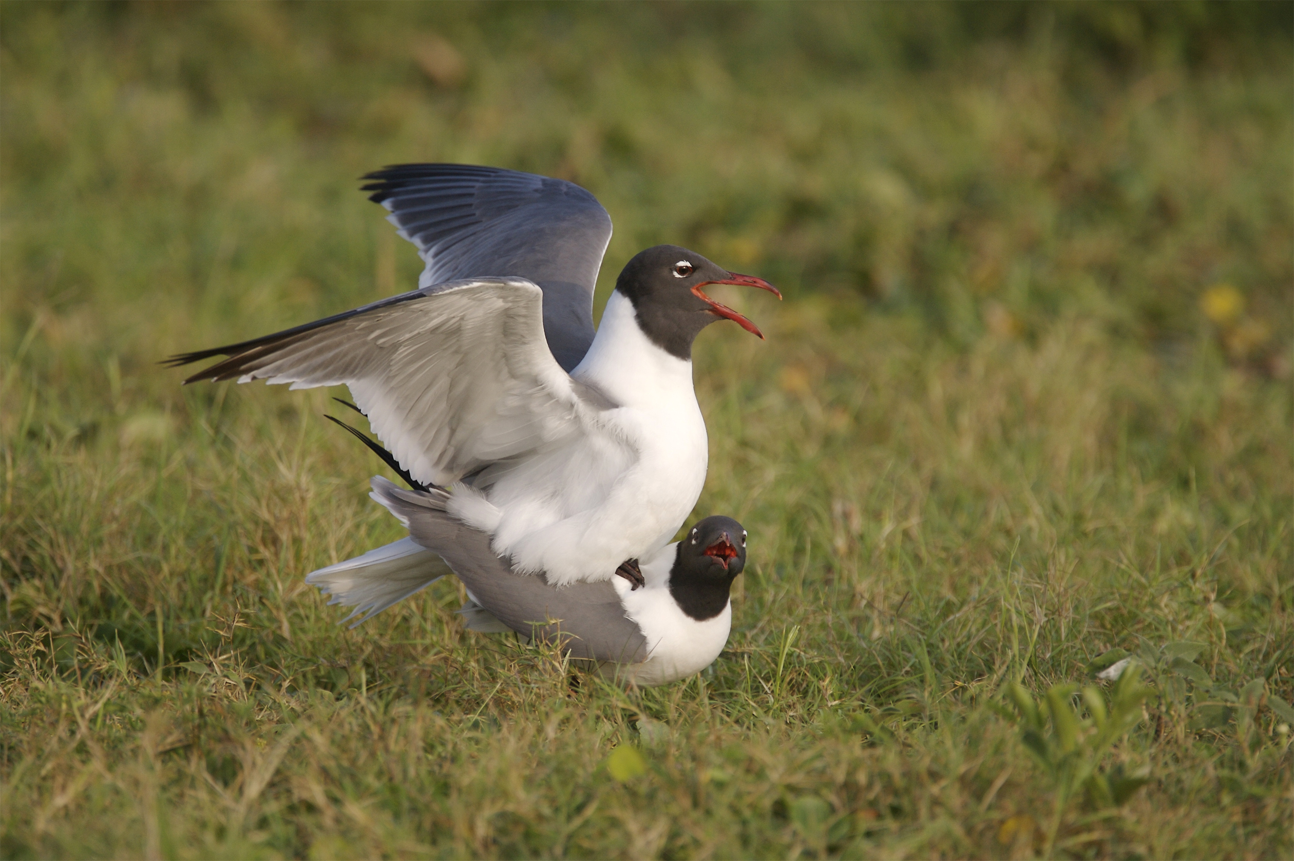 LAUGHING GULL - ARANSAS COUNTY TX