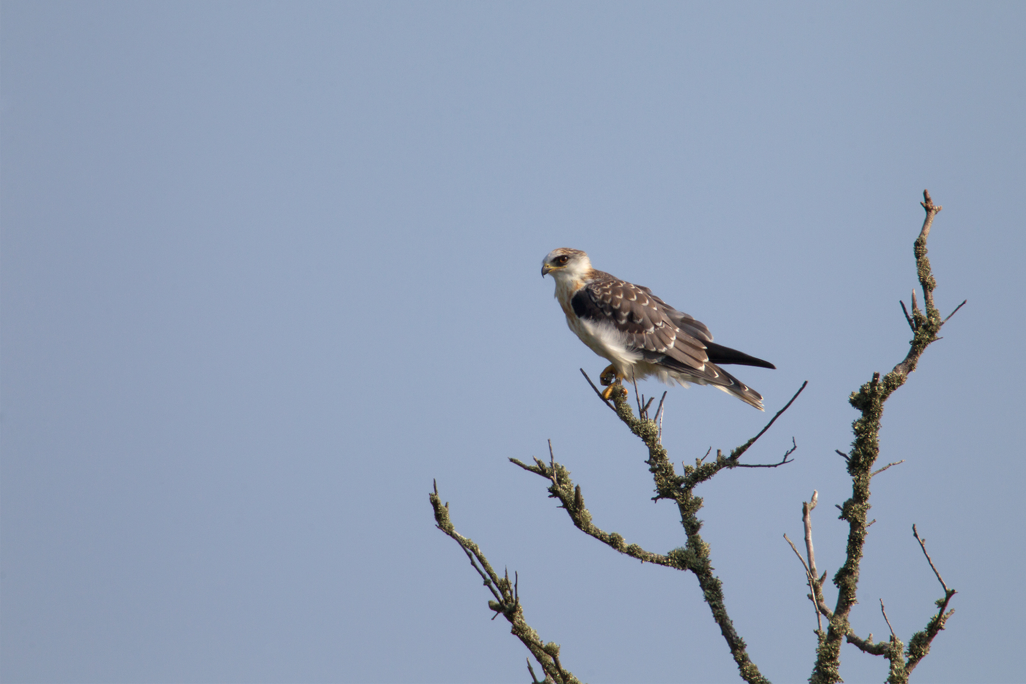 WHITE-TAILED KITE - GALVESTON COUNTY TX