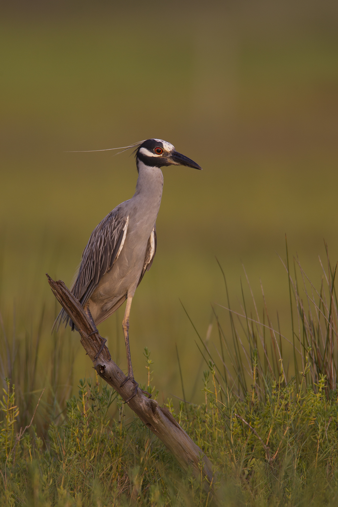 YELLOW-CROWNED NIGHT-HERON - GALVESTON COUNTY TX