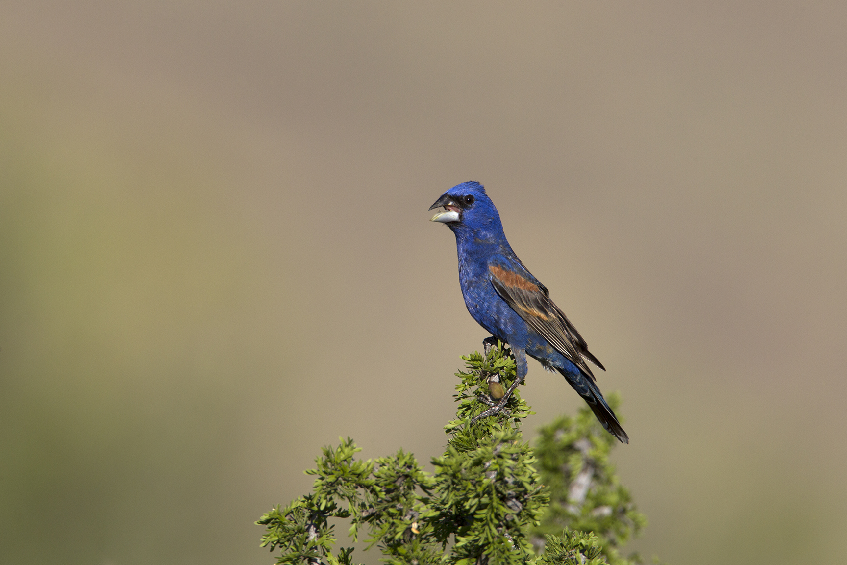 BLUE GROSBEAK - BREWSTER COUNTY TX