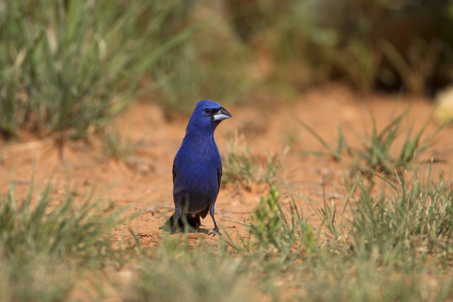 BLUE GROSBEAK - MITCHELL COUNTY TX
