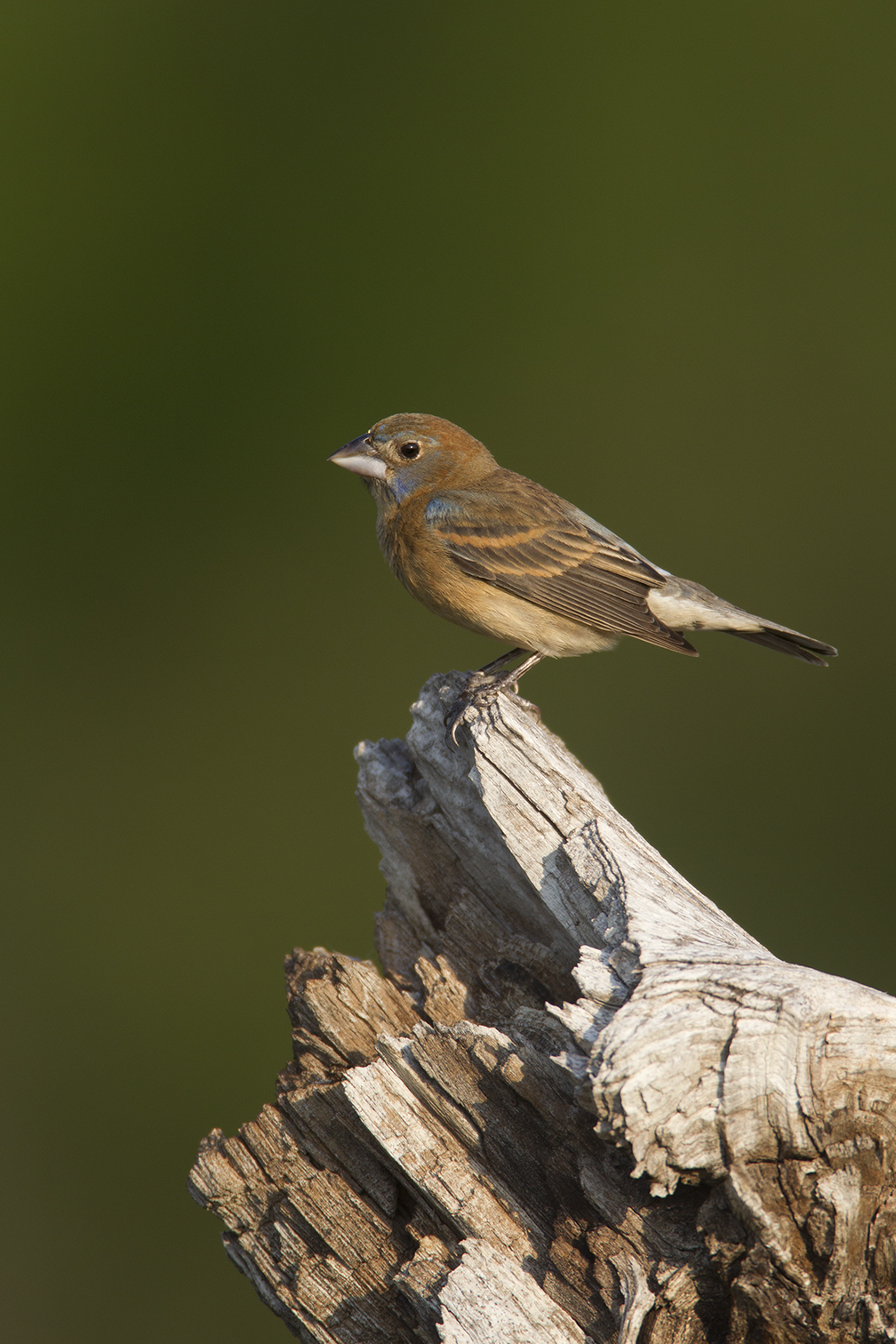 BLUE GROSBEAK - GRAYSON COUNTY TX