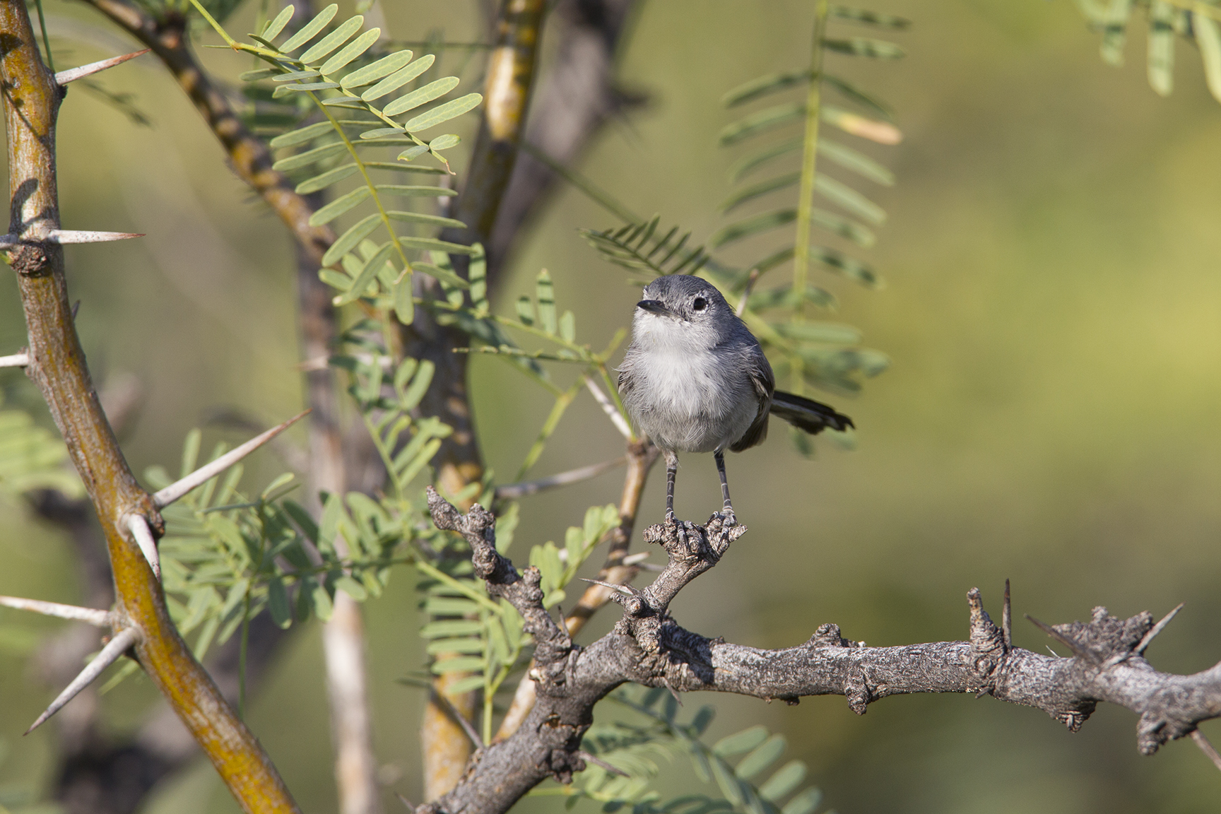 BLUE-GRAY GNATCATCHER - BREWSTER COUNTY TX
