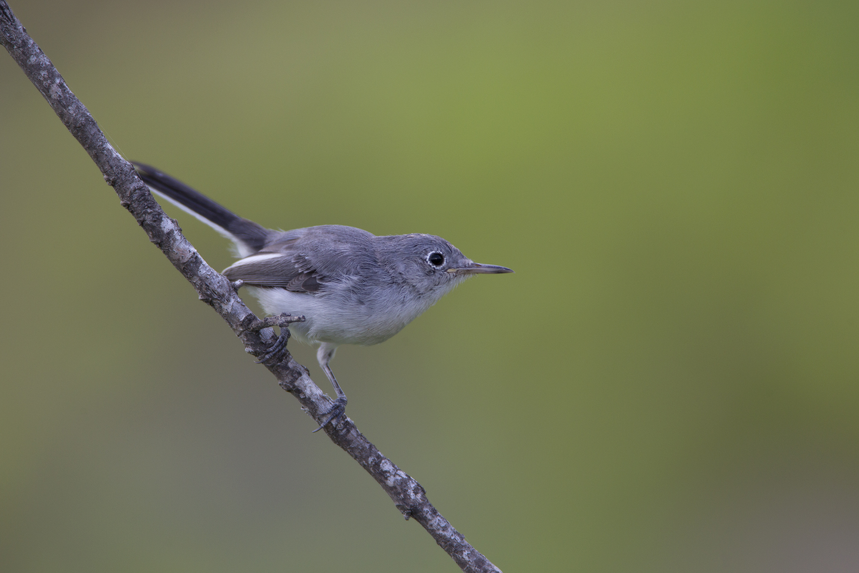 BLUE-GRAY GNATCATCHER - GRAYSON COUNTY TX