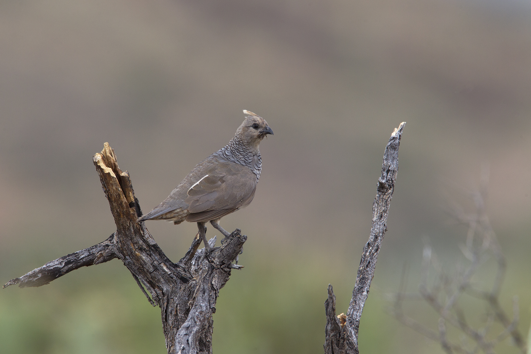SCALED QUAIL - BREWSTER COUNTY TX