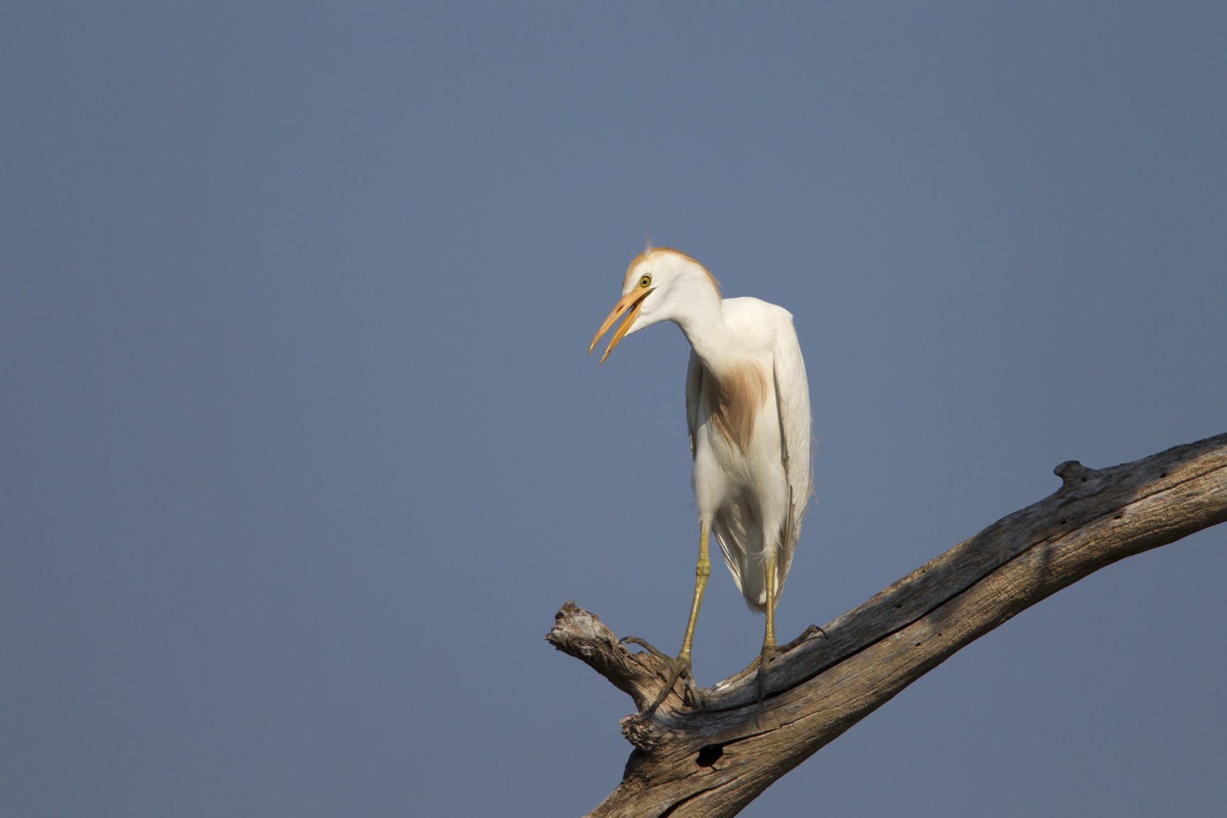 CATTLE EGRET - GRAYSON COUNTY TX