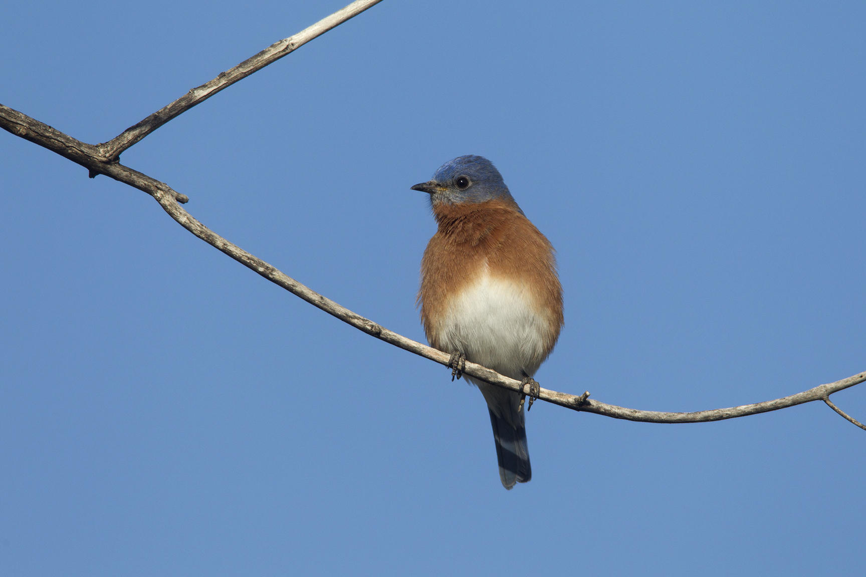 EASTERN BLUEBIRD - GRAYSON COUNTY TX