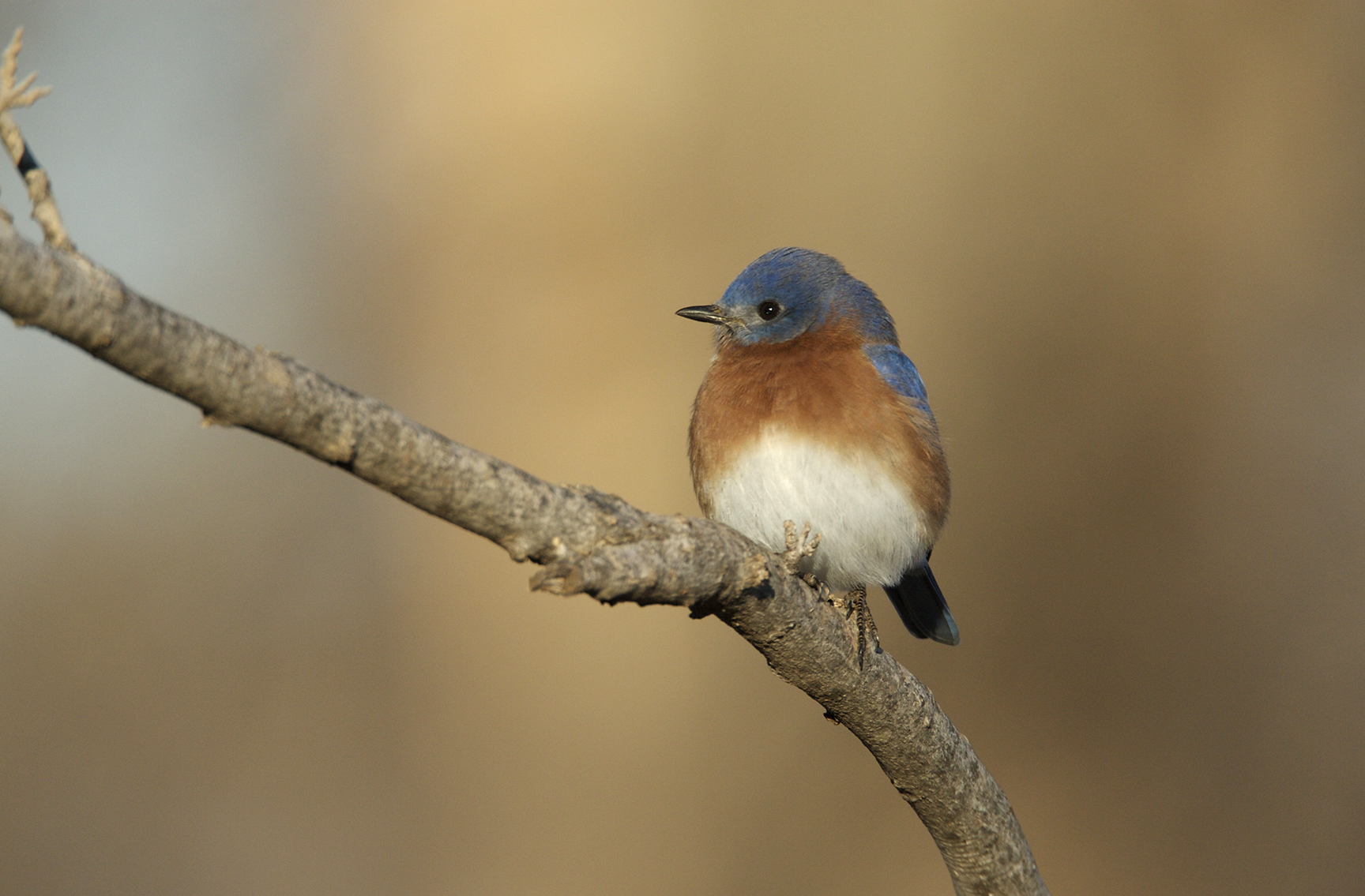 EASTERN BLUEBIRD - ALFALFA COUNTY OK