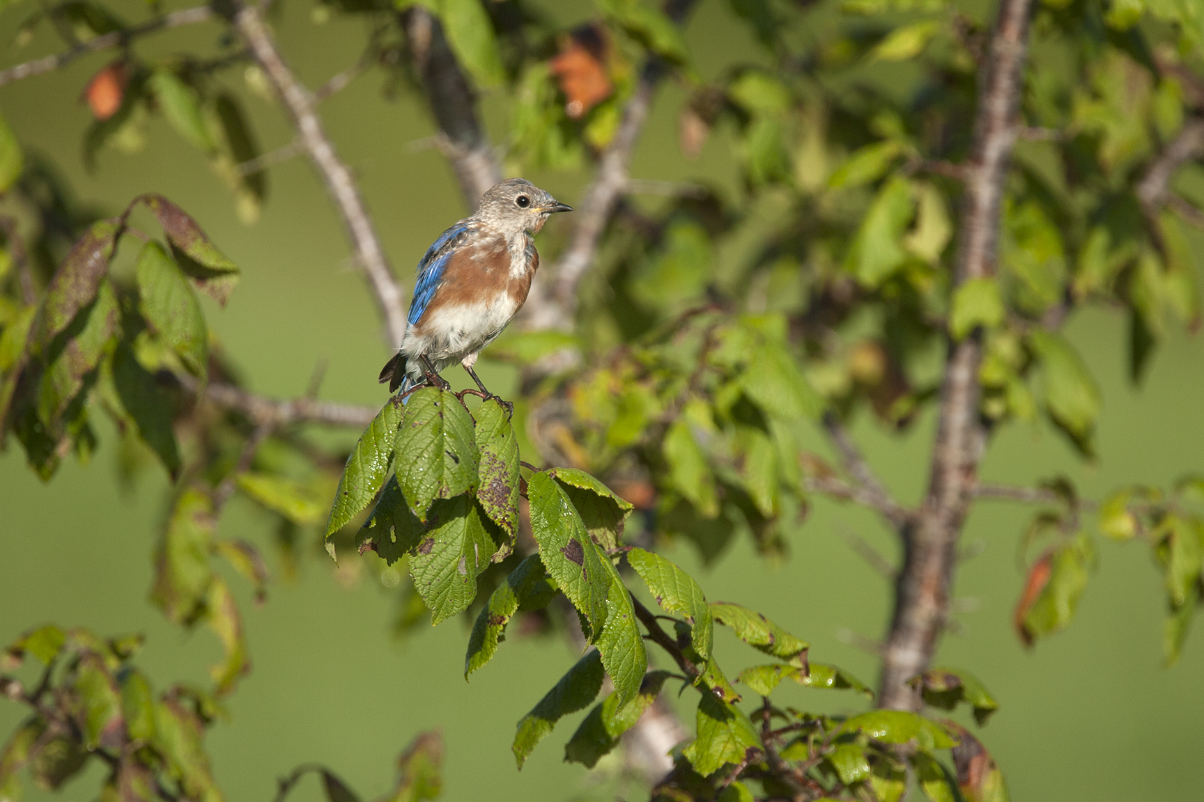EASTERN BLUEBIRD - WASHINGTON COUNTY TX