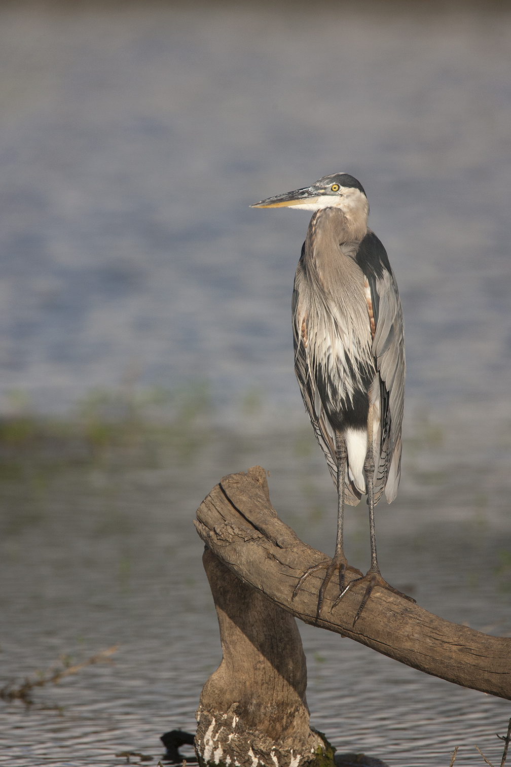 GREAT BLUE HERON - GRAYSON COUNTY TX