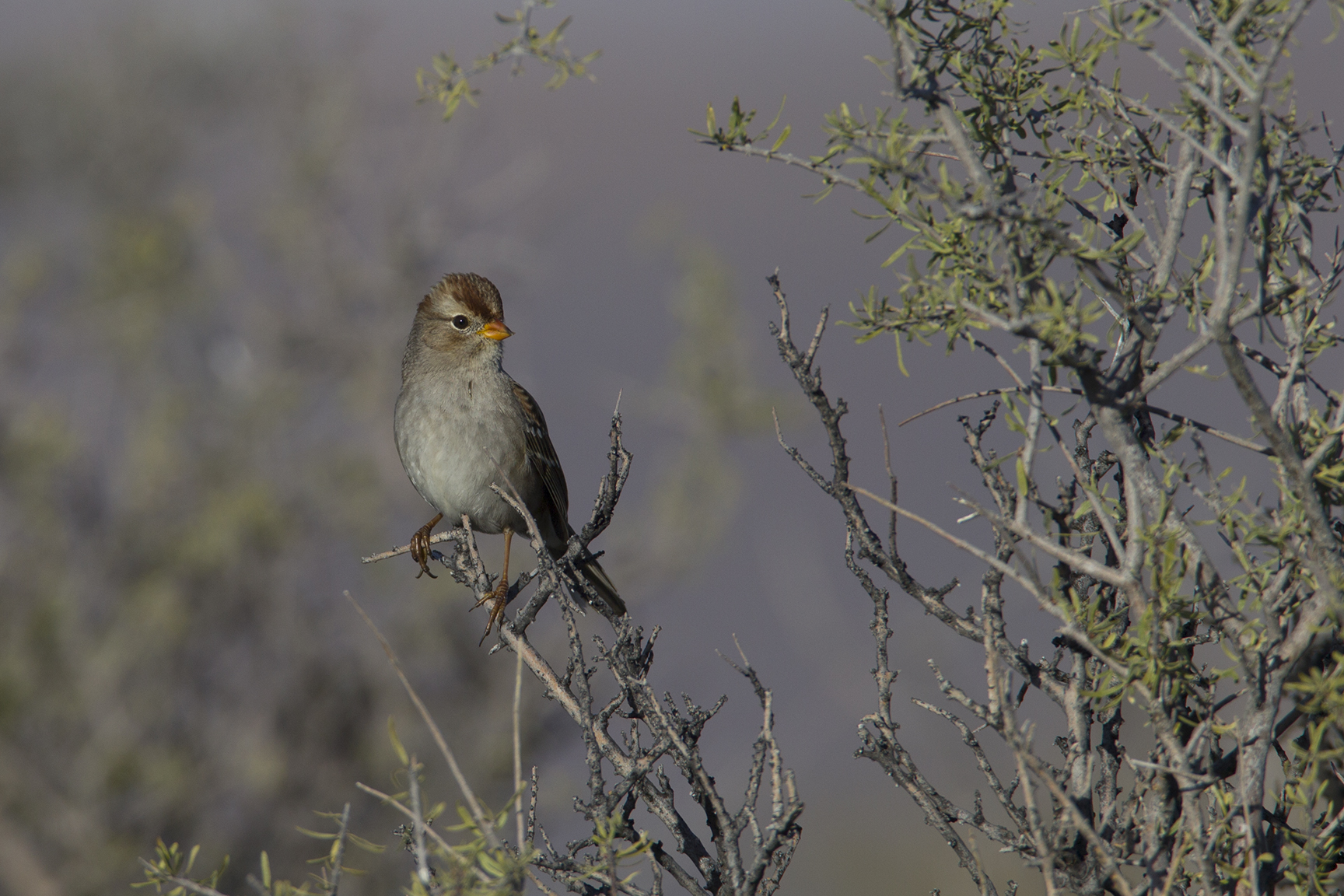WHITE-CROWNED SPARROW - BREWSTER COUNTY TX