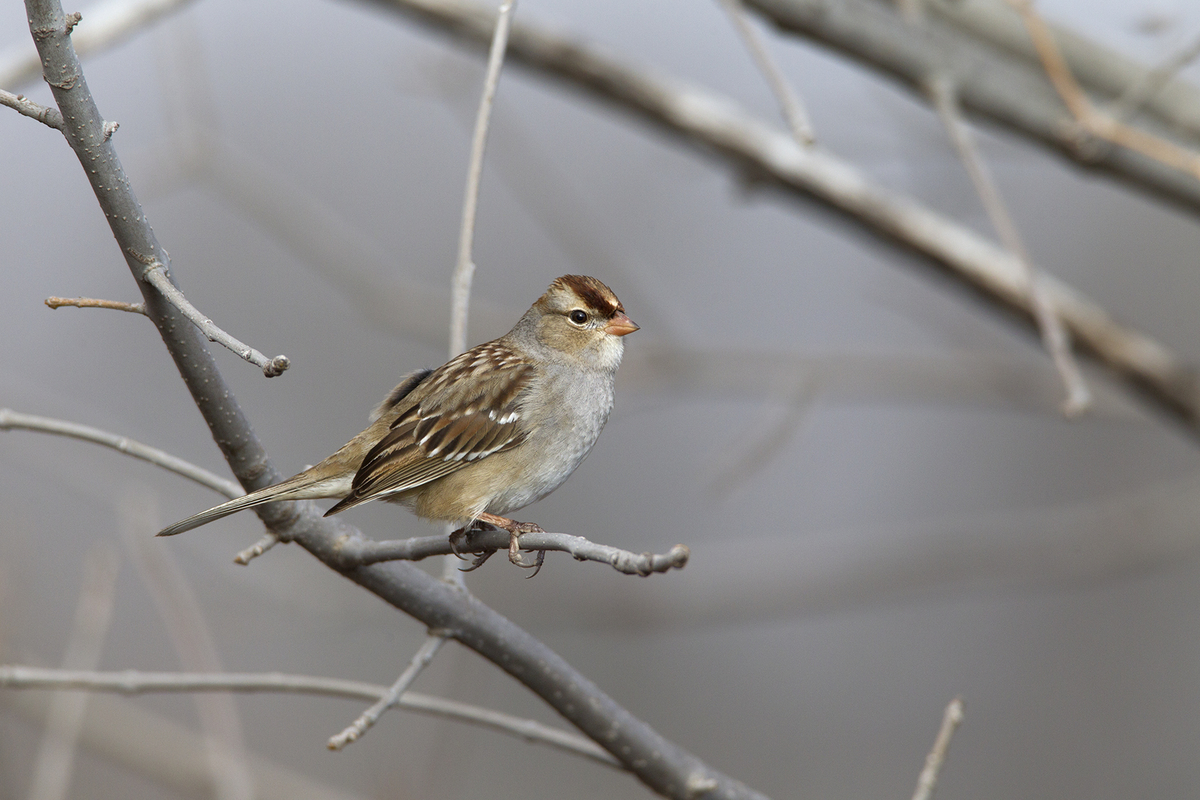 WHITE-CROWNED SPARROW - GRAYSON COUNTY TX