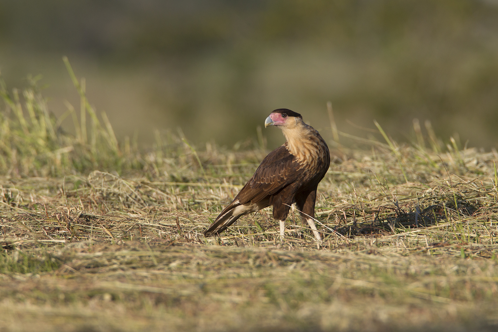 CRESTED CARACARA - WASHINGTON COUNTY TX