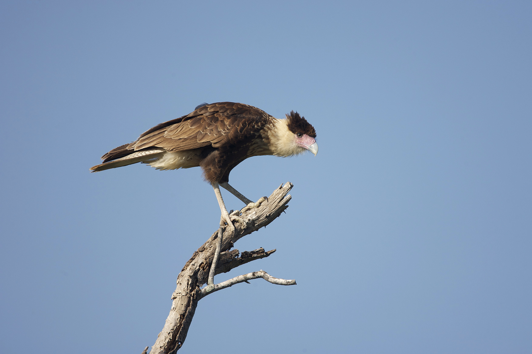 CRESTED CARACARA - MCMULLEN COUNTY TX
