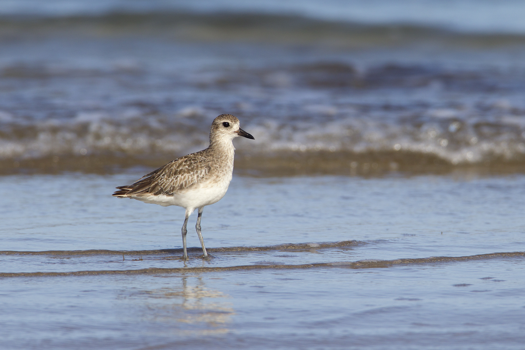 BLACK-BELLIED PLOVER - NUECES COUNTY TX