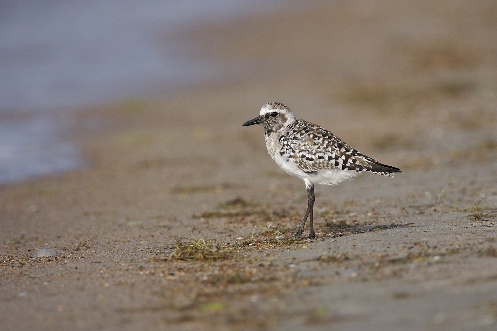BLACK-BELLIED PLOVER - ARANSAS COUNTY TX