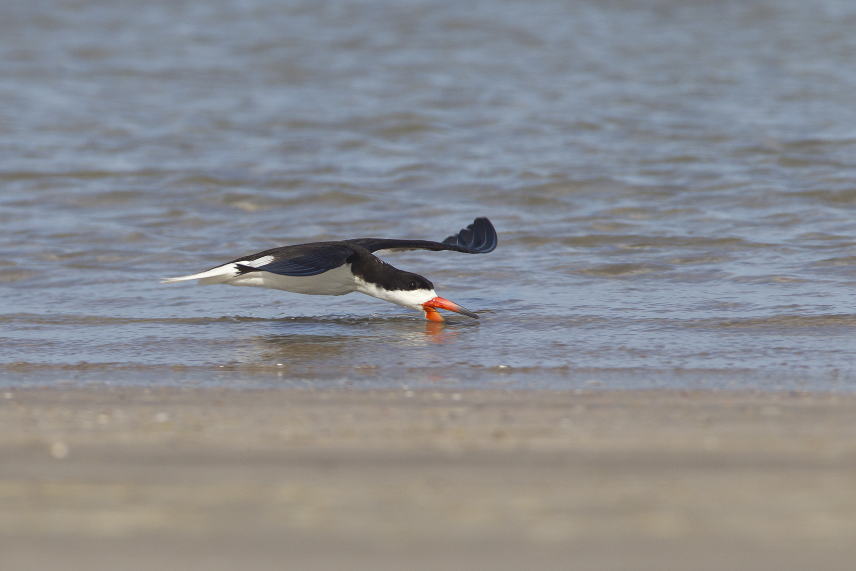 BLACK SKIMMER - NUECES COUNTY TX