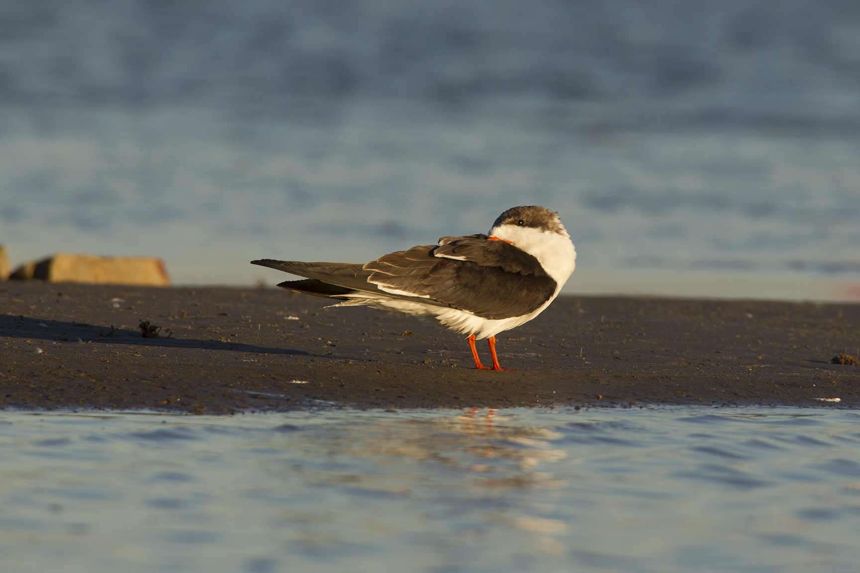 BLACK SKIMMER - GALVESTON COUNTY TX