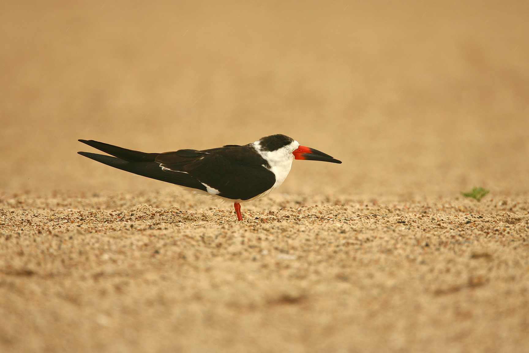 BLACK SKIMMER - ARANSAS COUNTY TX