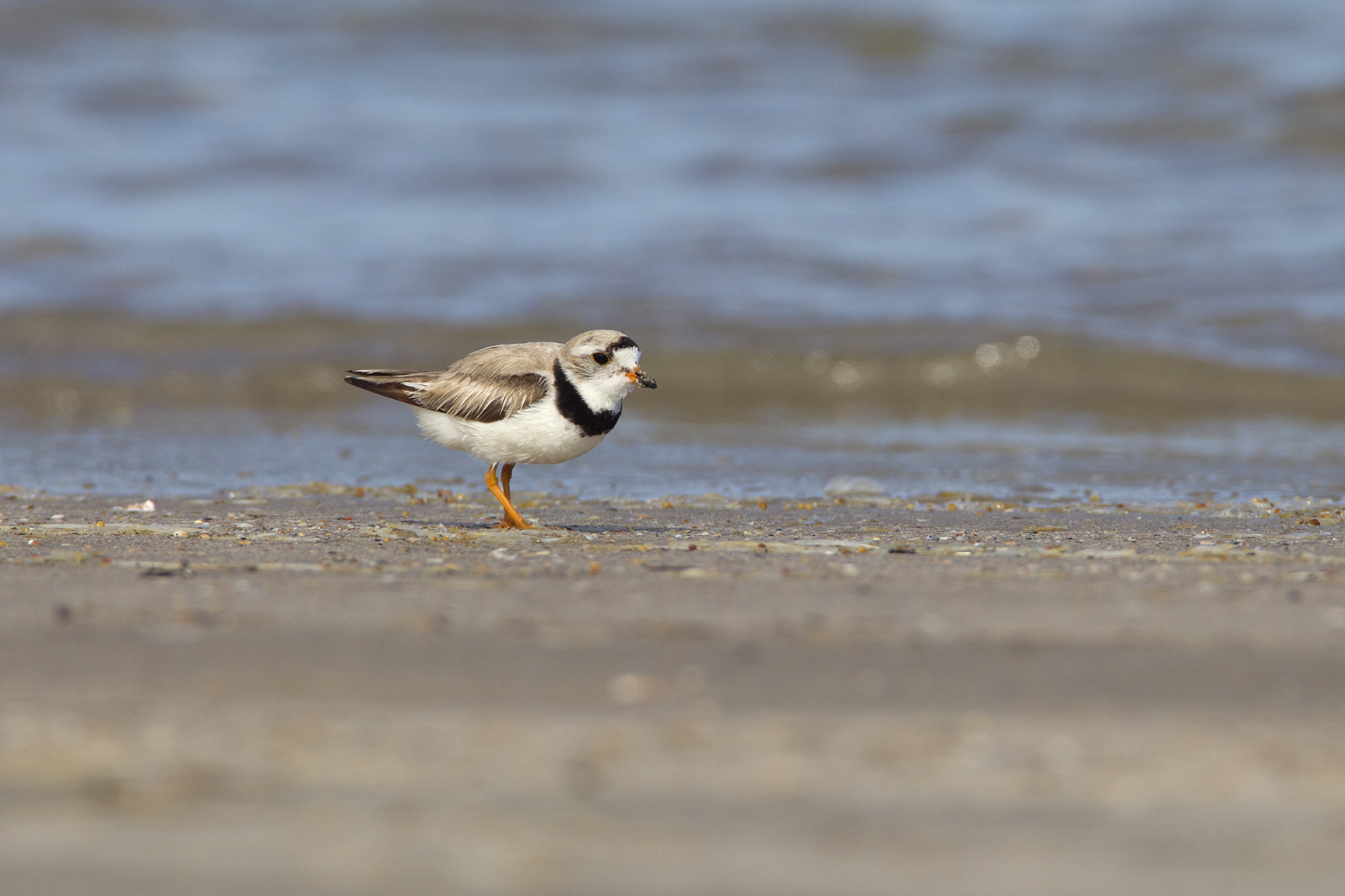 PIPING PLOVER - GALVESTON COUNTY TX