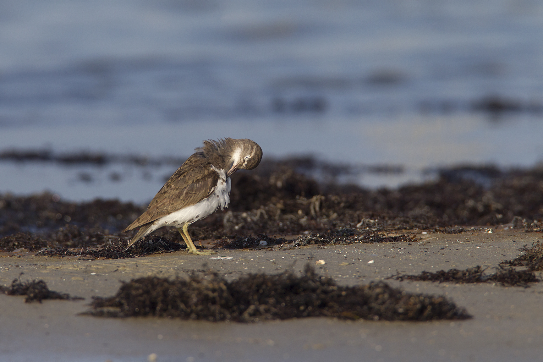 SPOTTED SANDPIPER - NUECES COUNTY TX