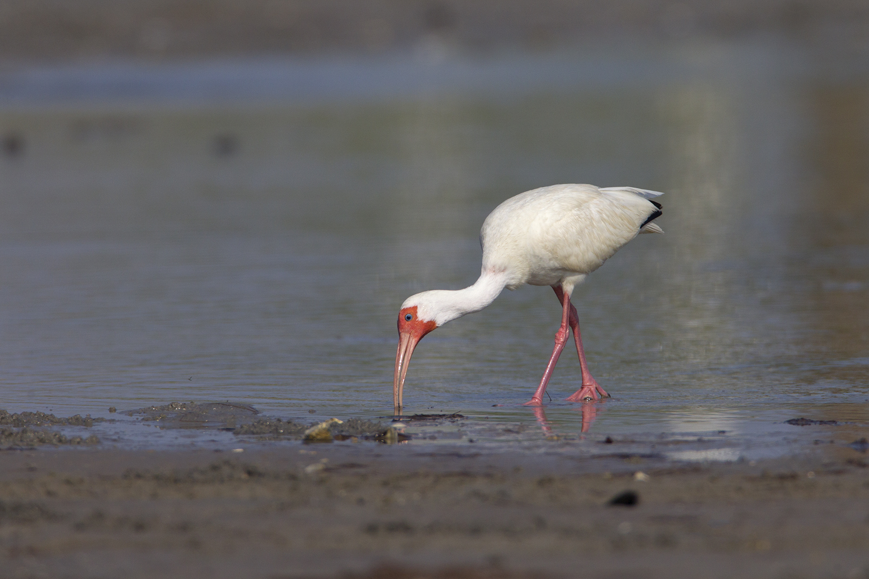 WHITE IBIS - NUECES COUNTY TX