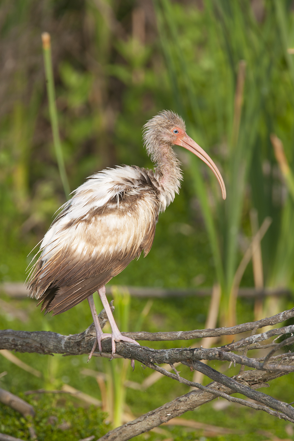 WHITE IBIS - ARANSAS COUNTY TX