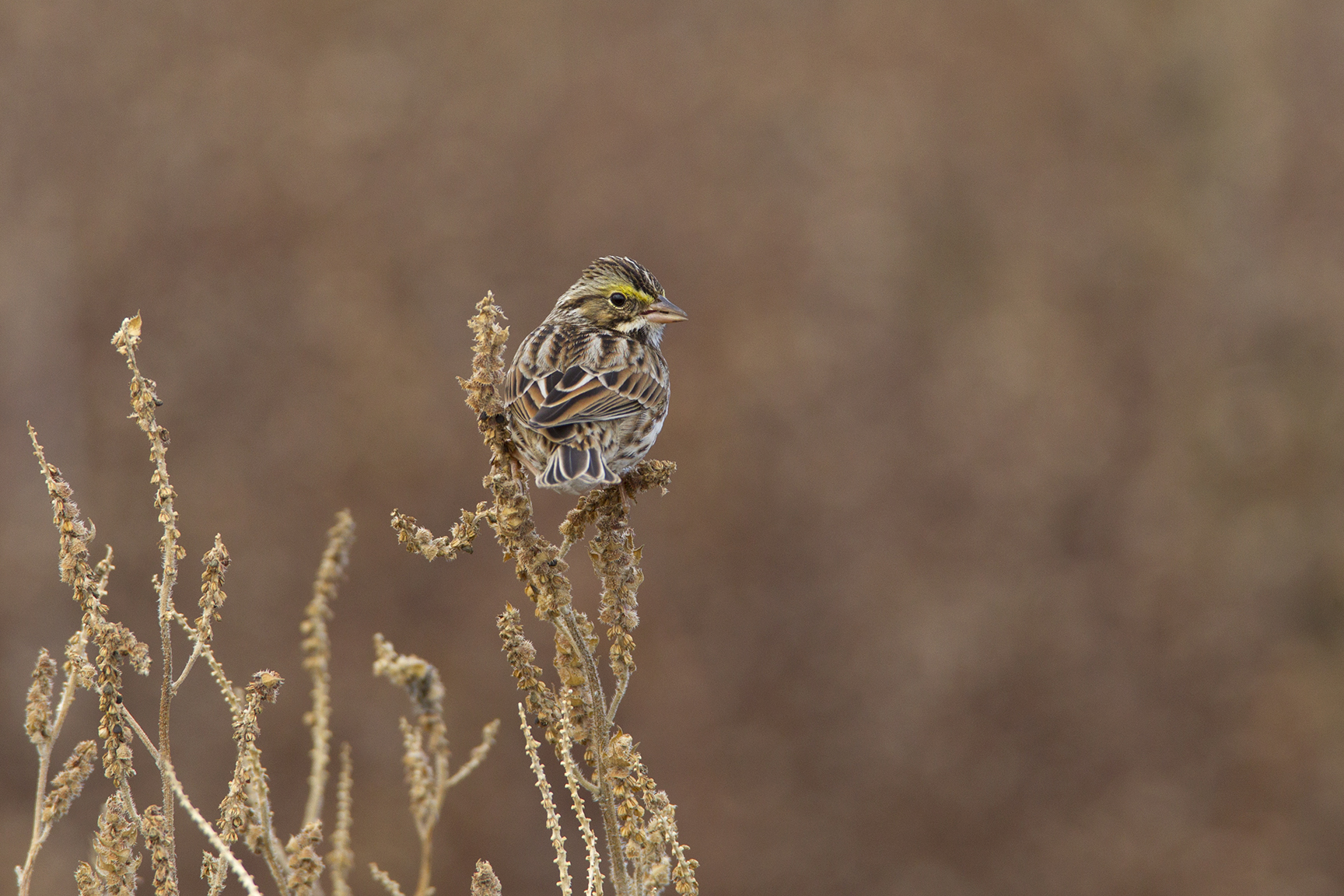 SAVANNAH SPARROW - GRAYSON COUNTY TX