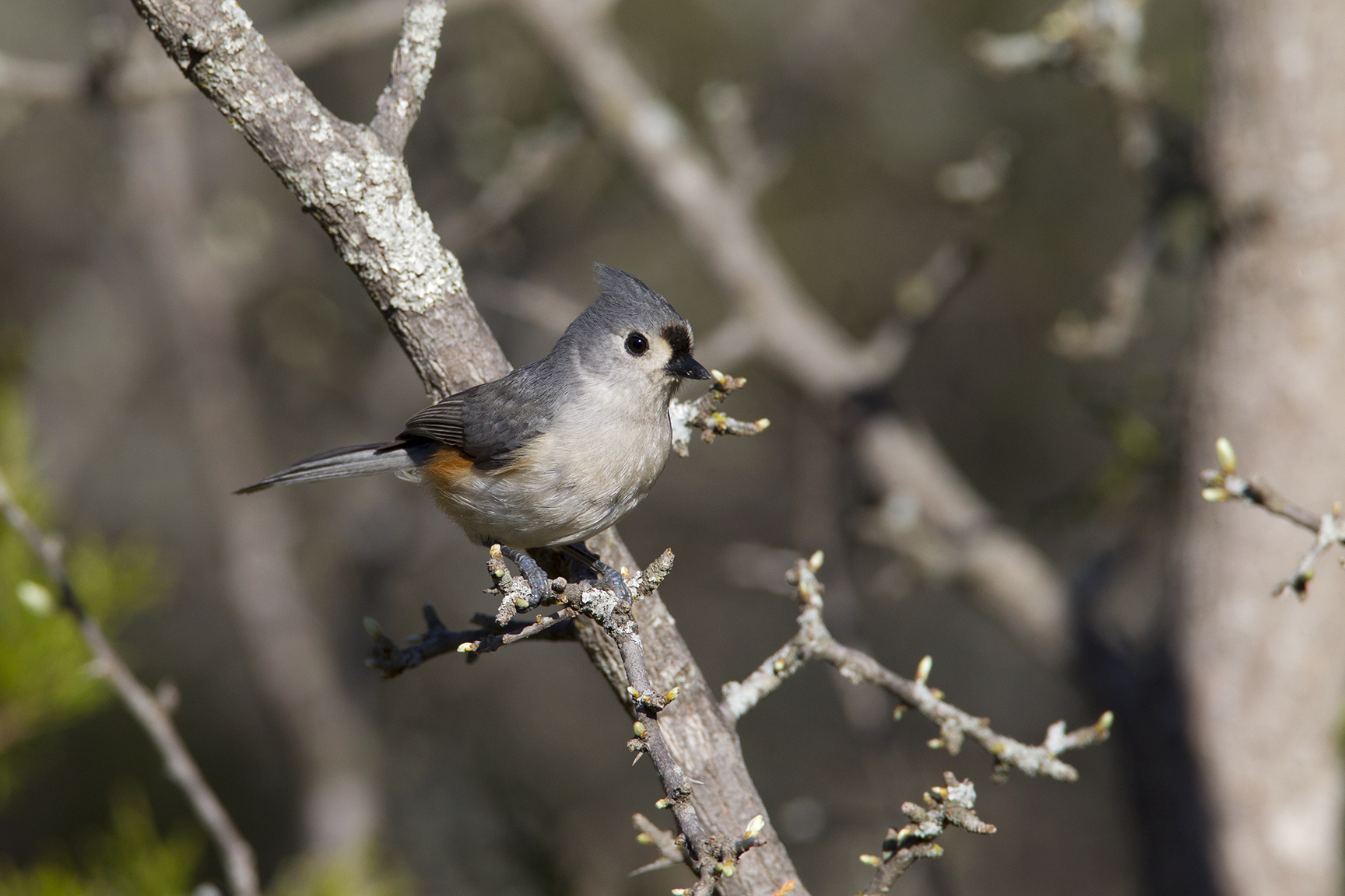 TUFTED TITMOUSE - COOKE COUNTY TX