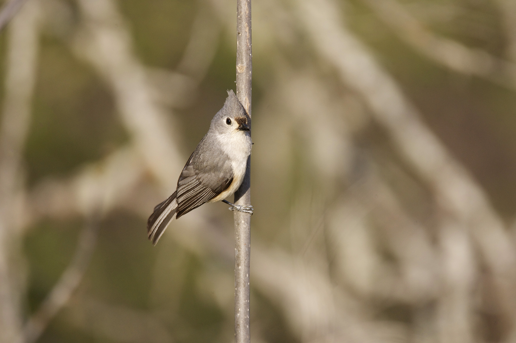 TUFTED TITMOUSE - GRAYSON COUNTY TX