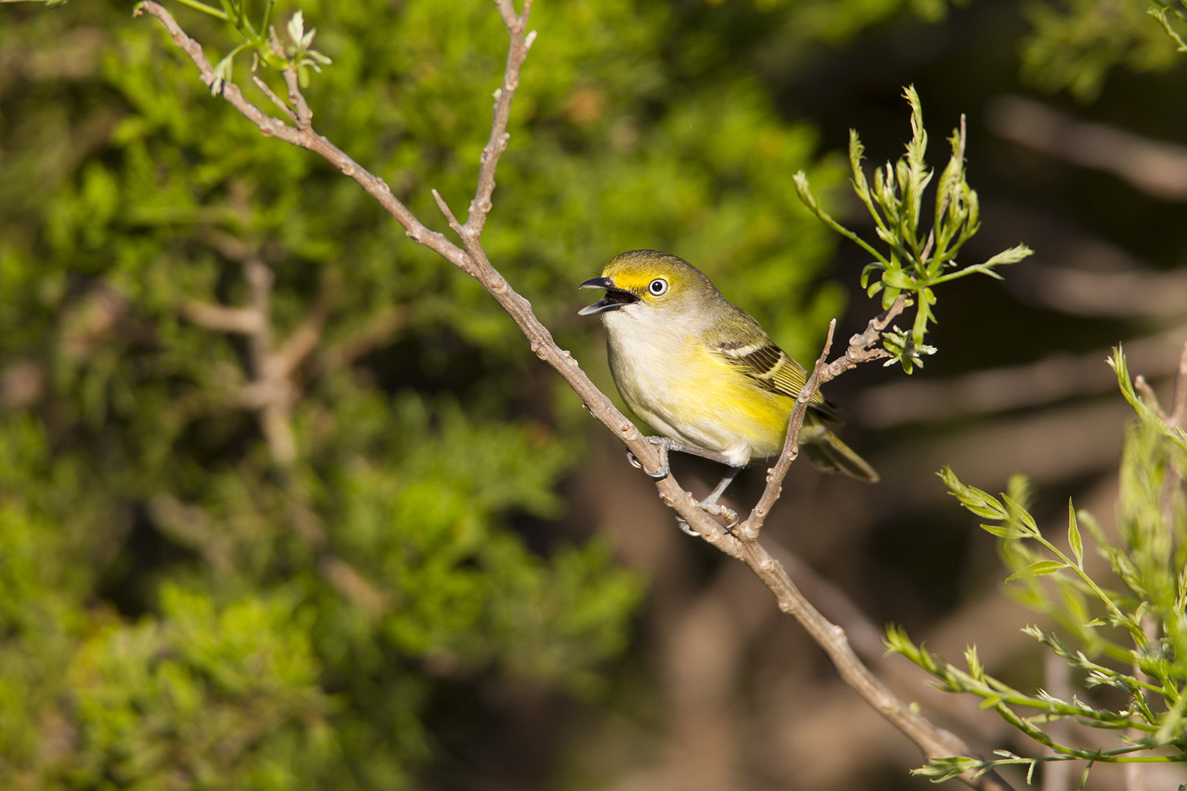 WHITE-EYED VIREO - BOSQUE COUNTY TX