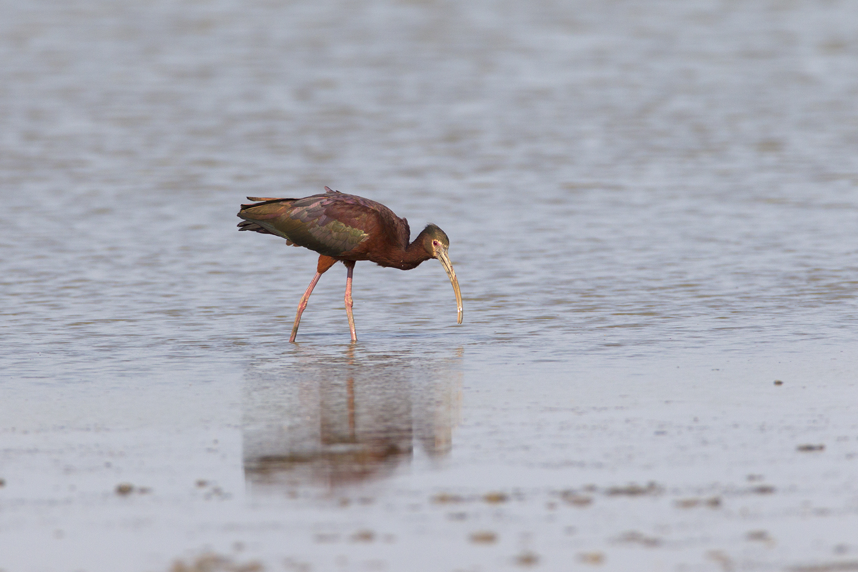 WHITE-FACED IBIS - GRAYSON COUNTY TX