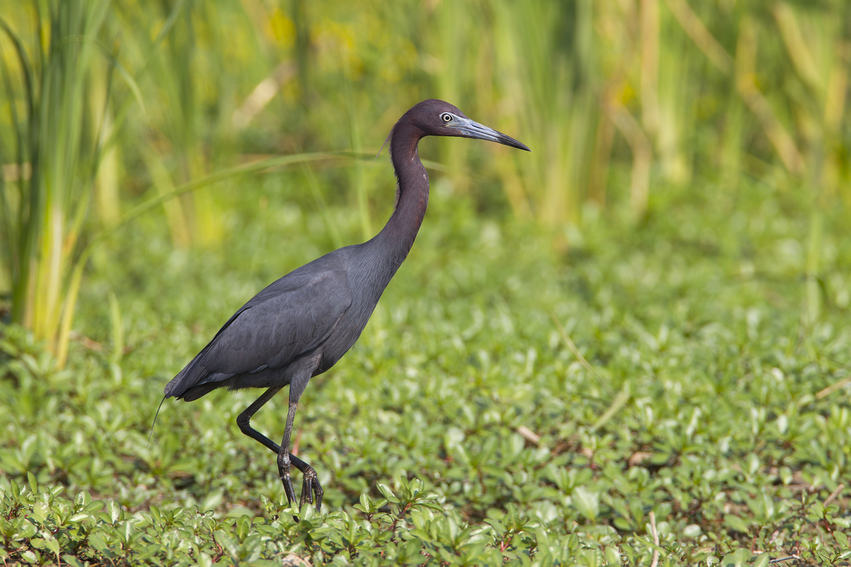 LITTLE BLUE HERON - GRAYSON COUNTY TX