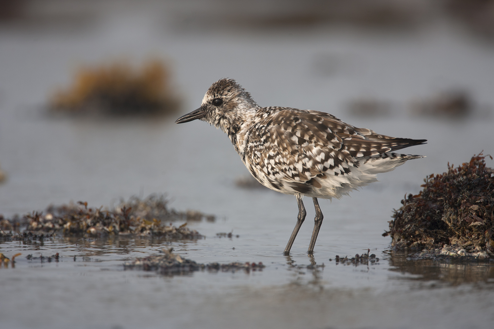 BLACK-BELLIED PLOVER - GALVESTON COUNTY TX