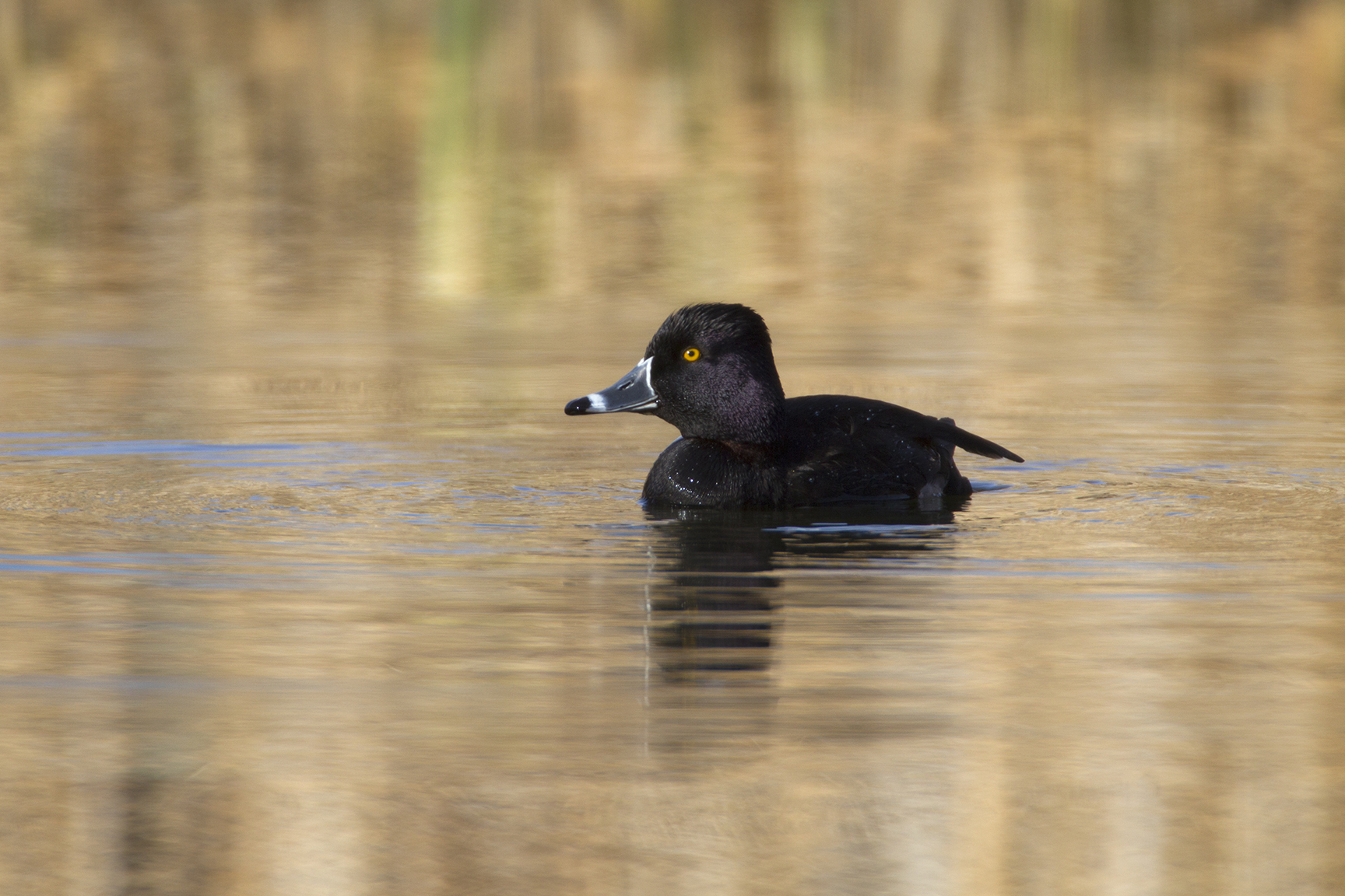 RING-NECKED DUCK - BROWN COUNTY TX